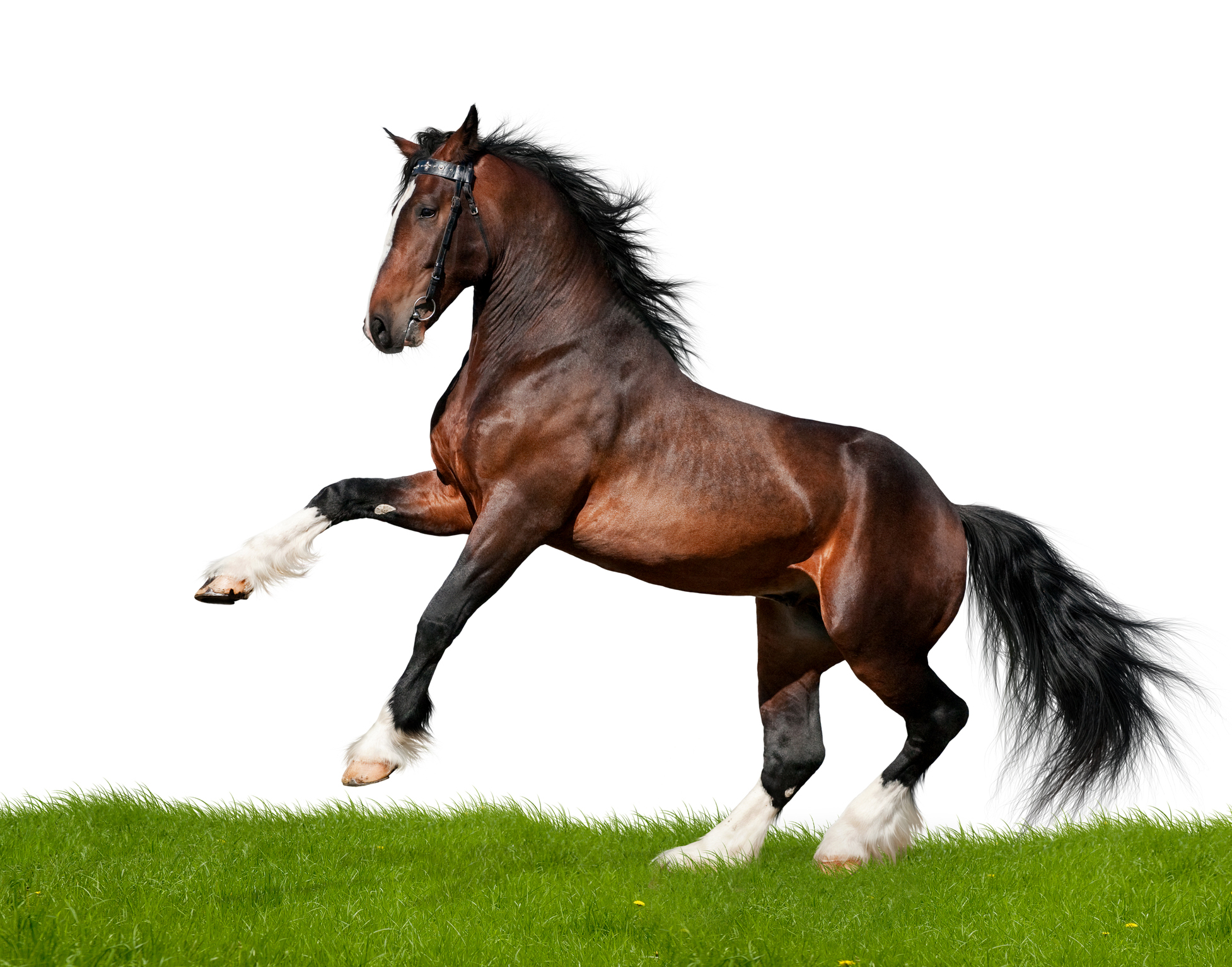 Clydesdale Horse Gallops In Field