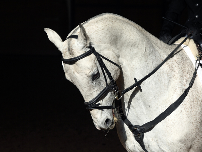 White Lipizzaner Horse Portrait