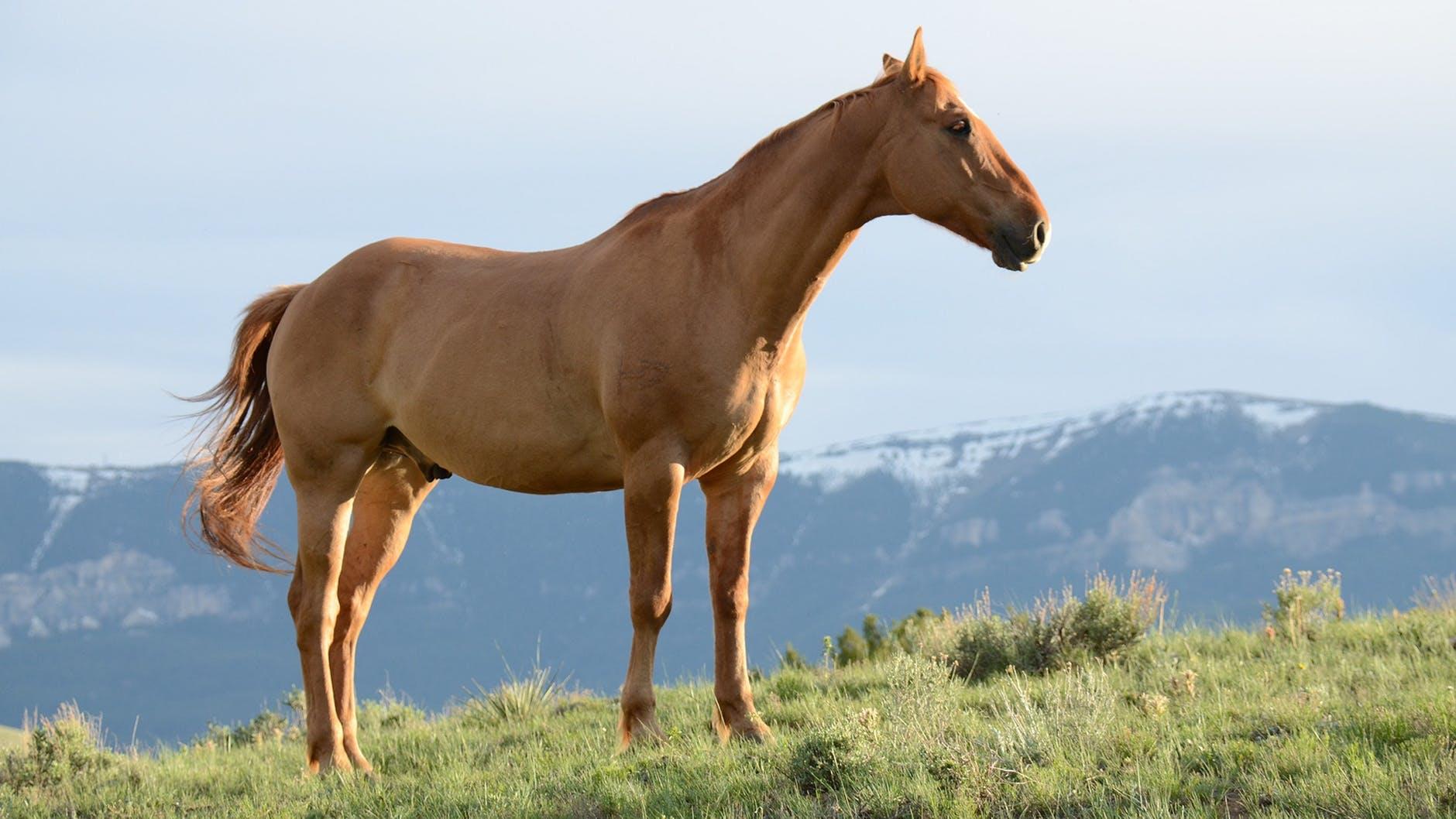 Häst på ett berg