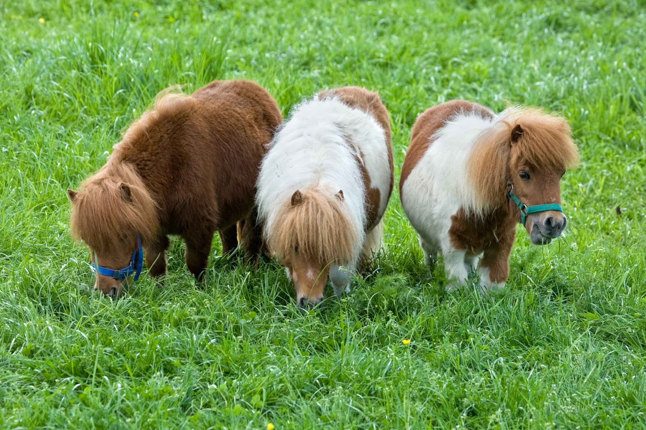 Three Grazing Falabella Ponies