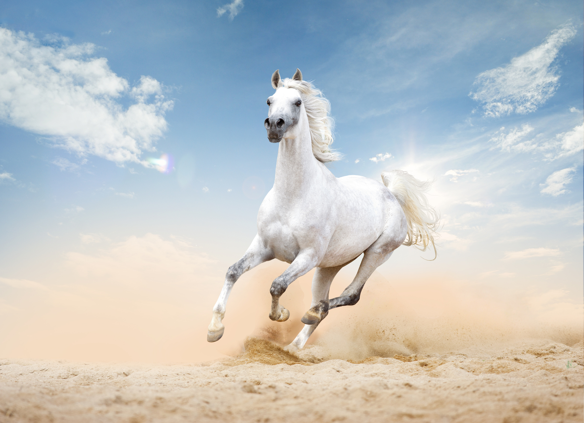 Arabian Horse Runs Free In Desert