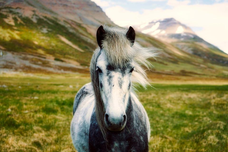Islandshästen – En Tuff Häst I Litet Format